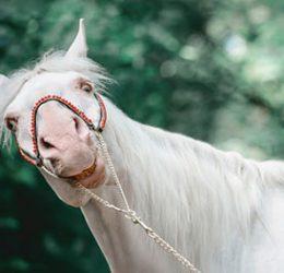 Galen häst